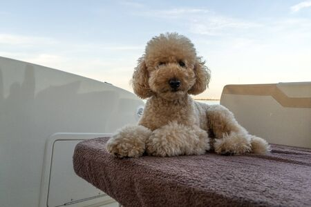funny happy poodle dog looking at you