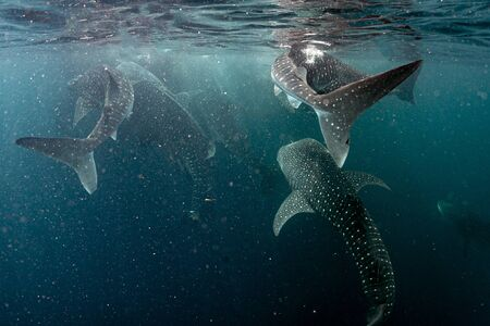 Whale Sharks Underwater coming to you in west papua indonesia close up