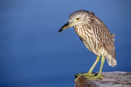 night heron close up portrait isolated on blue