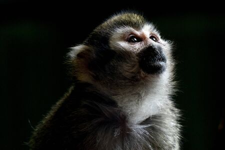 Common squirrel monkey portrait isolated on black Stock Photo