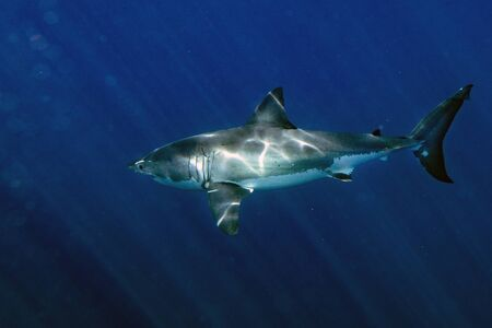 Great White shark while coming to you on deep blue ocean background Stock Photo