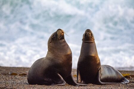 patagonia male and female sea lion portrait seal on the beach Reklamní fotografie