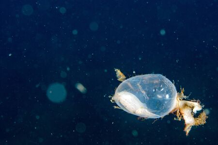 Baby newborn cuttlefish egg macro close up detail