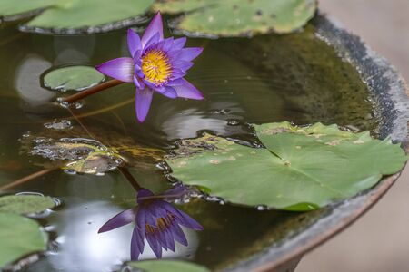 purple water lily flower reflection