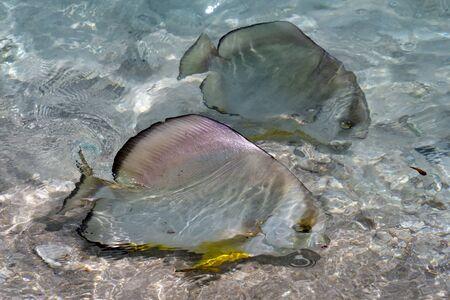 batfish on sea surface in seychelles detail