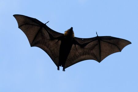 Flying fox portait of bat while flying in the sky Stock Photo