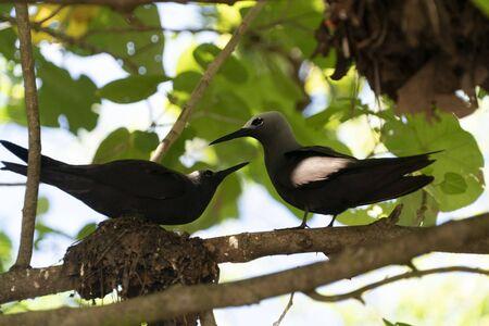 brown noddy bird cousin island seychelles on its nest
