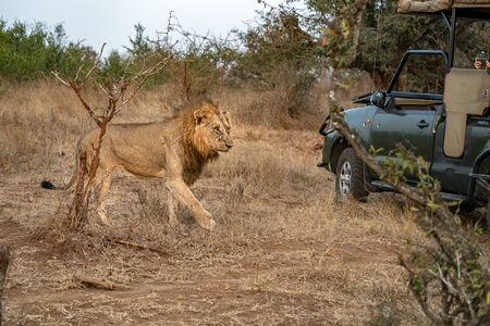 safari jeep near male lion in kruger park south africa close up