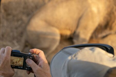 safari photographer with lions while mating in kruger park south africa