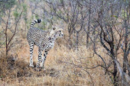 Retrato de guepardo en el parque Kruger Sudáfrica cerrar