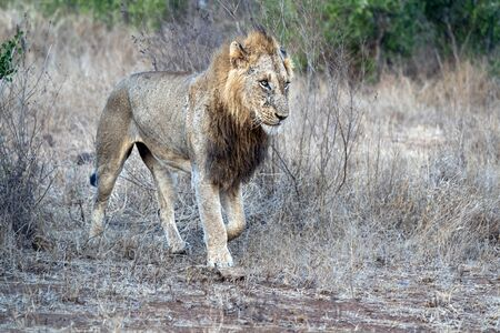 male lion in kruger park south africa close up of wounded face 写真素材