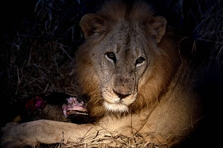 male lion in kruger park south africa close up while eating a gnu