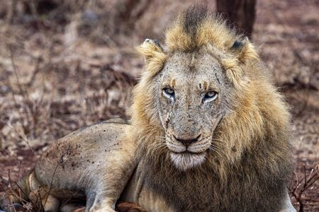 male lion in kruger park south africa close up 写真素材