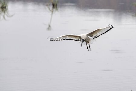 Sacred ibis bird flying in kruger park south africa Stock Photo