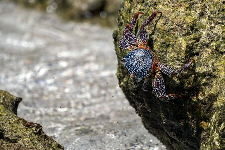 crab on the lava rocks in baja california sur mexico