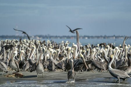 Pelican colony many birds in baja california on the sky background