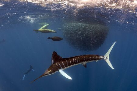 Striped marlin and sea lion hunting in sardine run bait ball in pacific ocean blue water baja california sur