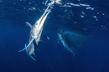 Striped marlin hunting in sardine run bait ball in pacific ocean blue water baja california sur