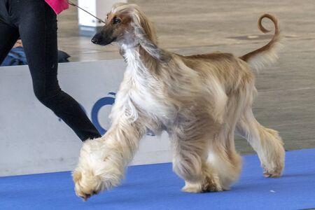 Afghan greyhound dog portrait Standard-Bild