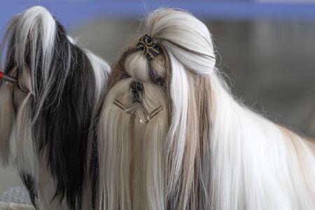 Shitzu dog beauty salon portrait