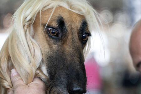 Afghan greyhound dog portrait