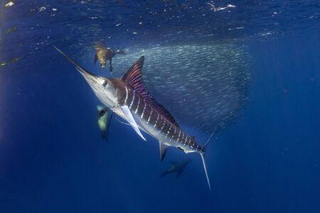 Il marlin striato e il leone marino a caccia di sardine eseguono la palla esca nell'acqua blu dell'oceano pacifico baja california sur
