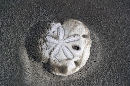 flower sea urchin skeleton on a sandy beach of mexico baja california sur