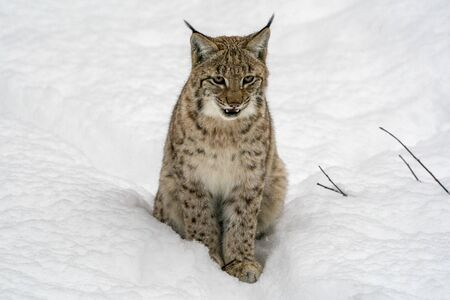 lynx in the snow while looking at you