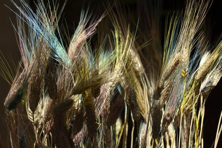 Transgenic mutated blue wheat spike detail