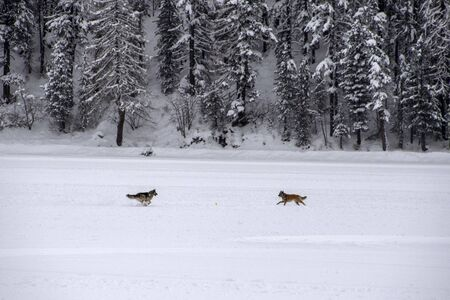 dogs playing on frozen lake in winter Imagens