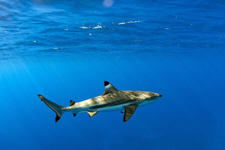 diving with black tip shark underwater in french polynesia Imagens