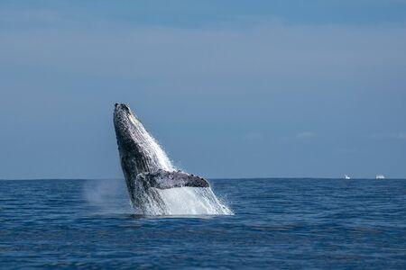 baleine à bosse violer sur fond de l'océan pacifique à cabo san lucas mexique