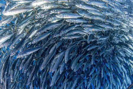 in een gigantische school van sardines met visaasbal Stockfoto