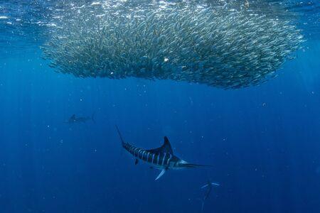 Le marlin rayé et la chasse aux lions de mer dans la balle d'appâts sardine run dans l'eau bleue de l'océan pacifique baja california sur