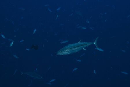 Yelllowfin tuna underwater in the deep blue sea with sharks Stock Photo