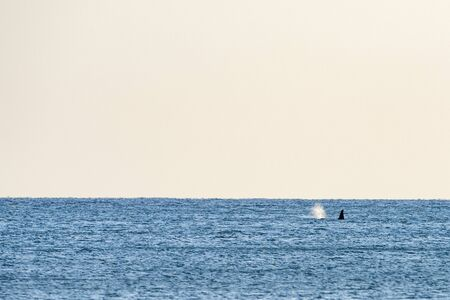 orca killer whale in mediterranean sea Genoa, Italy coming from Iceland