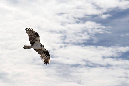 Osprey bird flying to nest portrait