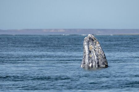 grey whale watching in baja california Mexico