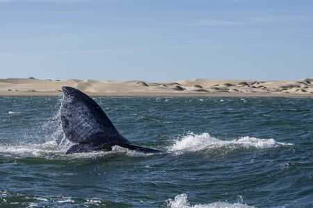 grey whale tail while going down in bahia magdalena sand dunes background