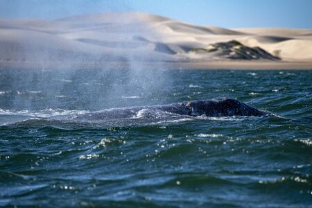 blowing grey whale nose travelling pacific ocean in baja california