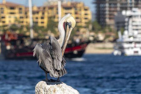 pelican in cabo san lucas harbor mexico