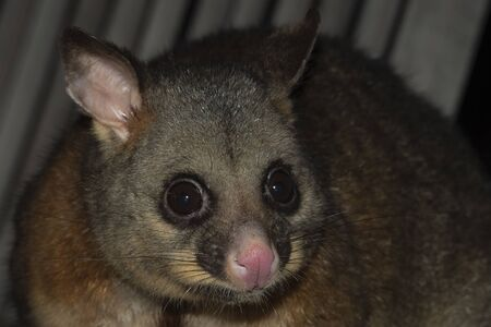 brush tailed possum portrait while looking at you Stock Photo