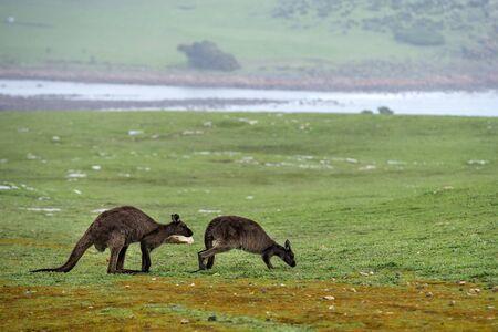 Kangaroo in kangaroo island Australia before bush fire devastation
