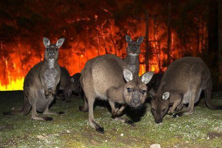 Canguro in fuga dalla devastazione degli incendi boschivi in Australia Archivio Fotografico
