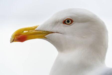 seagull eye close up detail