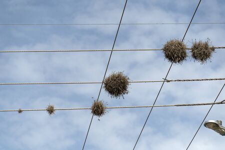 Tillandsia recurvata aerial Plant growing on power lines in Baja California Sur Mexico