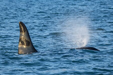 Orca killer whale in mediterranean sea inside Genoa Harbor Italy from iceland longest migration ever Stock Photo