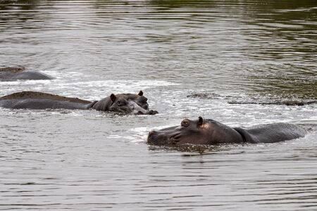 hippos resting in kruger park south africa pool