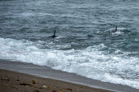 Killer whale while attacking a newborn sea lion on patagonia beach