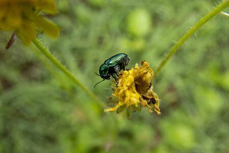 Cryptocephalus sp green beetle on yellow dandelion flower Foto de archivo